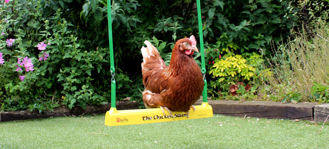 A Gingernut Ranger perching on The Chicken Swing in the garden