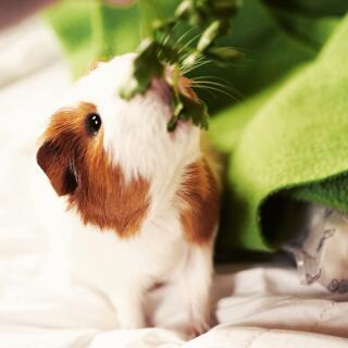 Dave, a Guinea Pig living in Southwest Florida, USA.