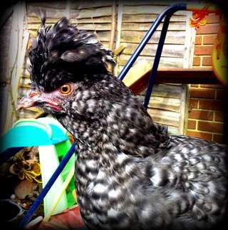 Sultan Cuckoo 14 weeks