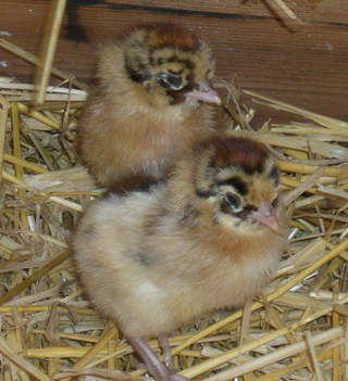 1 day old Friesian Chicks