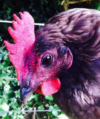 My favourite chicken