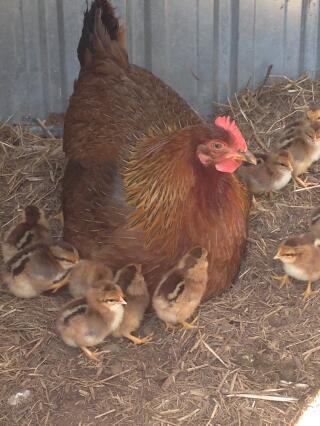 Welsummer hen and chicks-cute and stripey little fluff balls.