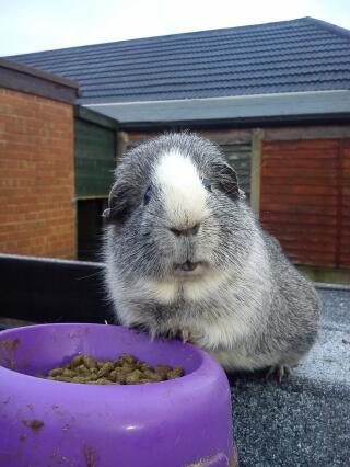 Tom my guinea pig! :-)