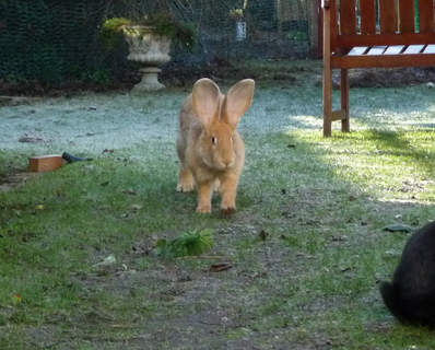 """""""lion"""" bunny Mr Muffin in the frost"""