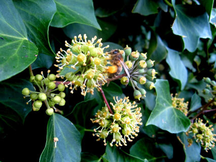 Winter Pollen collection from Ivy
