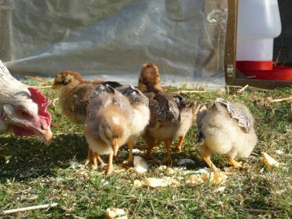Cream Legbar hutchlings
