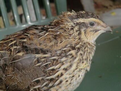 my japanese quail female