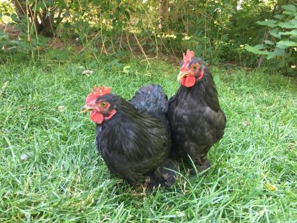 Bantam Black  Cochins cockerels