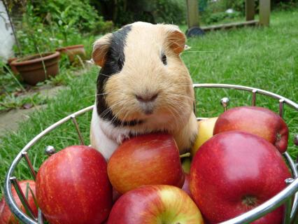 Bay - the chubby piggie