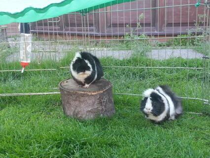 Malibu and coke my guinea pigs! :-)