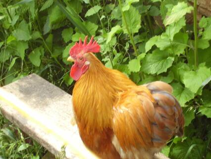 our ginger pekin cockerel on his crowing bench