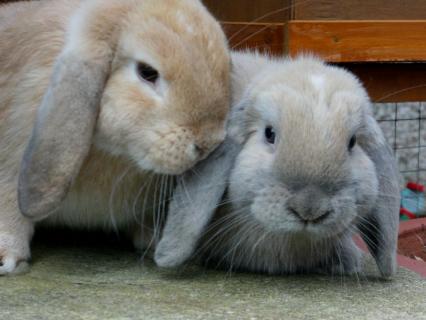 Two Little Mini Lops