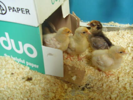 here is a picture of our utility wyandottes as chicks
