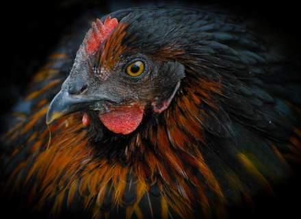 Black Rock Hen