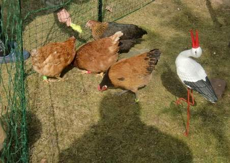 Four chickens and a stork!