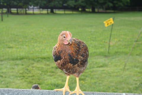 8 week old cockerel