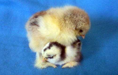 Brahma and Pekin Chicks