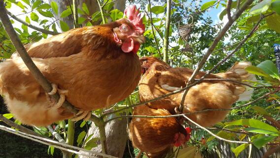Chickens in a bush