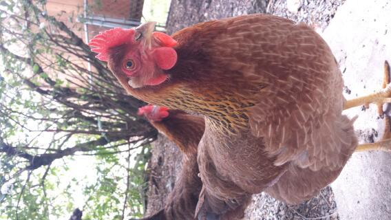 Coco and Cute Chicken