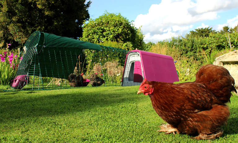 Chickens will love spending time both in and out of their Eglu